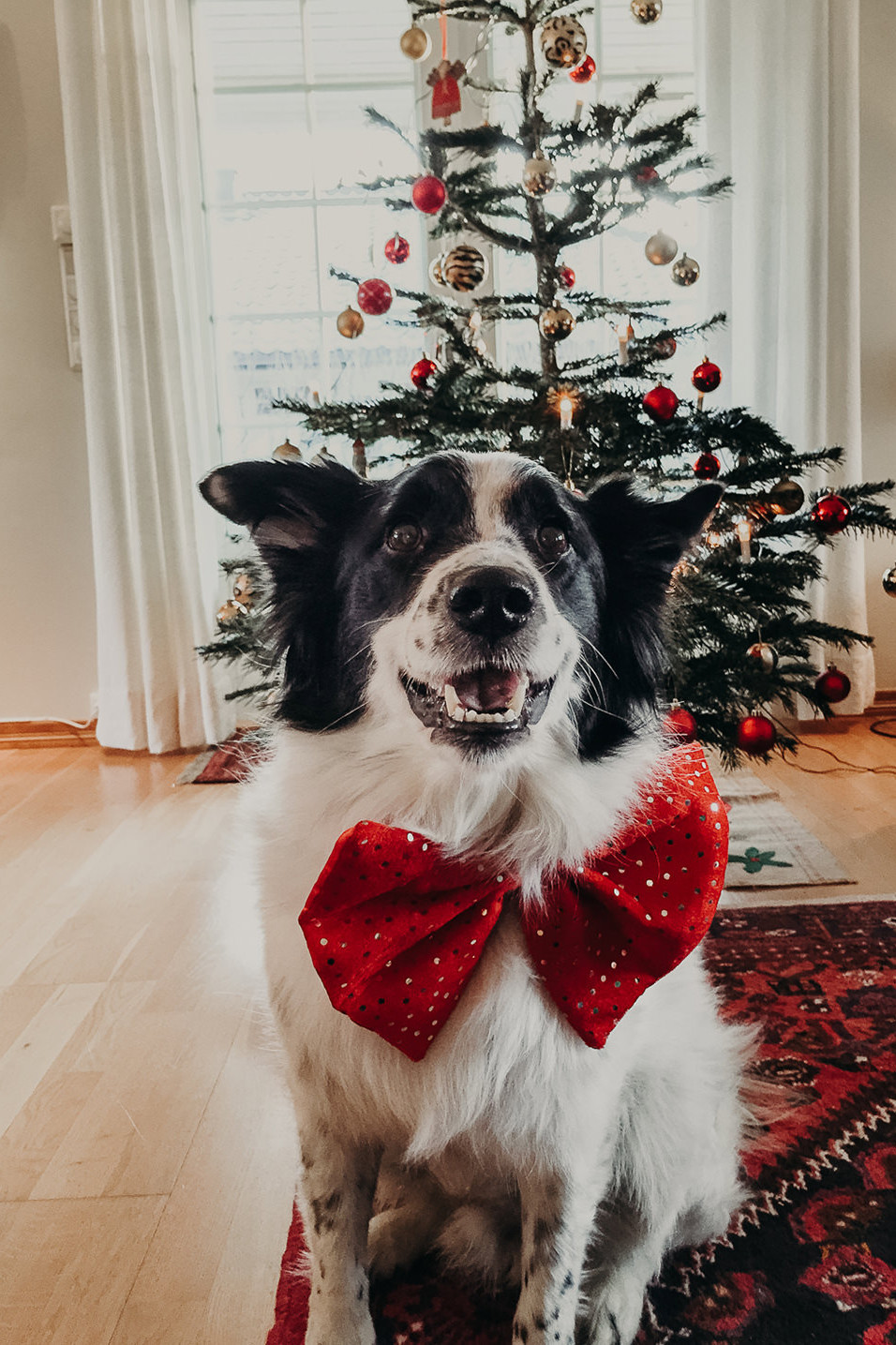 Shepperds dog with a red bow in front of the Christmas tree and ready for gifts
